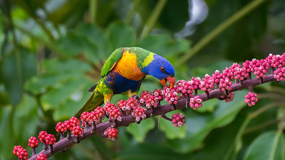 Rainbow-Lorikeet-feeding-on-the-Queensland-Umbrella-tree
