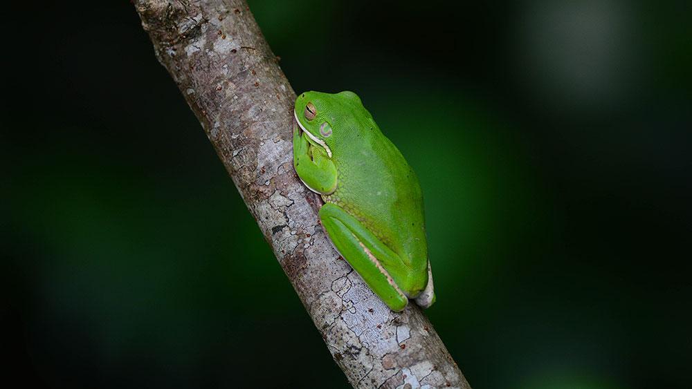 White-lipped-tree-frog