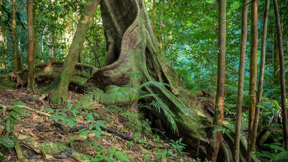 mossman-gorge-butressed-tree