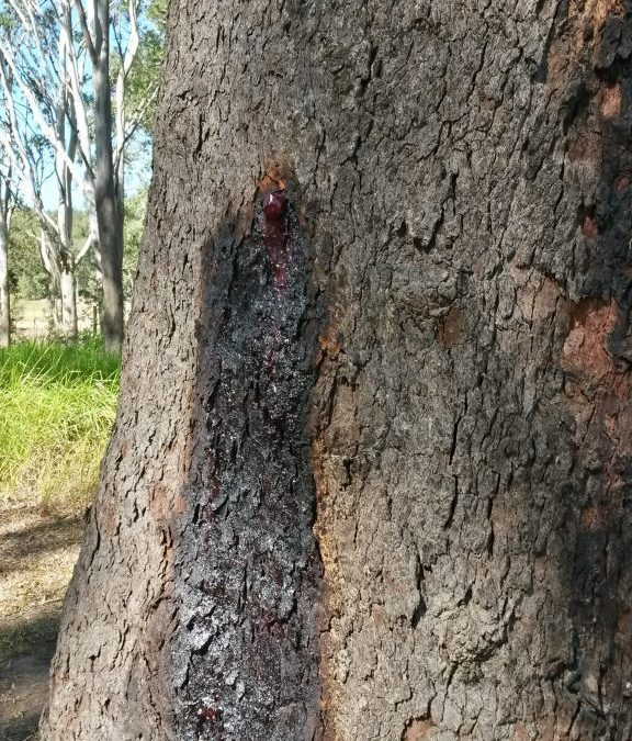 Bloodwood in the Tropics